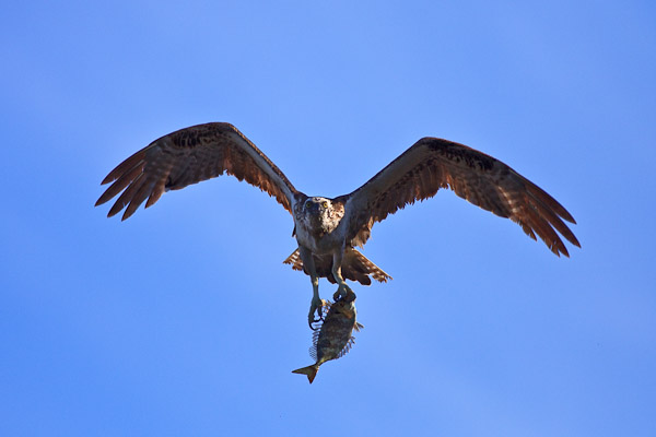 Osprey (with lunch)