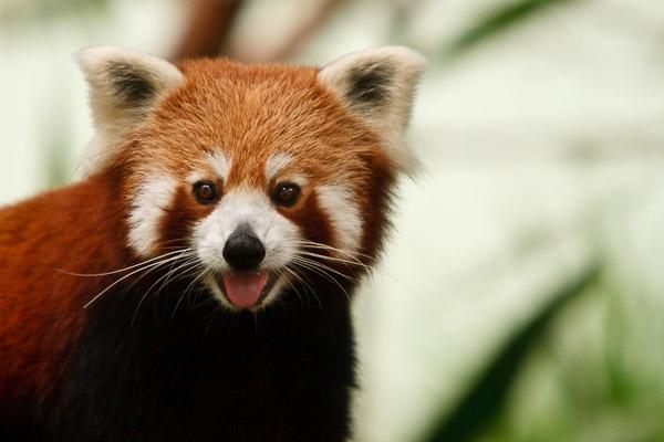 red panda babies. Red Panda